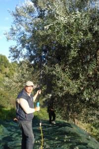 Michael mit dem elektrischen Rüttelkamm bei der Olivenernte 2015