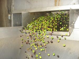 Gereinigt und gewaschen fallen die Oliven in die Presse.