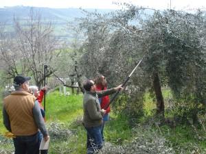 Olivenbaumschnitt mit Tiziano Aleandri
