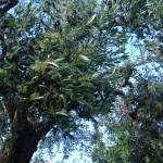Dieser Olivenbaum steht Anfang Juni in voller Blüte.
