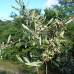 Ob aus diesen schönen Blüten wohl ganz viele Oliven werden?
