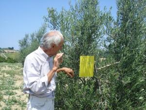 Bruno zeigt uns die gelbe Klebefalle für die Olivenfliege, la trappola gialla.