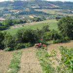Giacomo befreit unsere neu gepflanzten Olivenbäumchen vom wuchernden Unkraut.