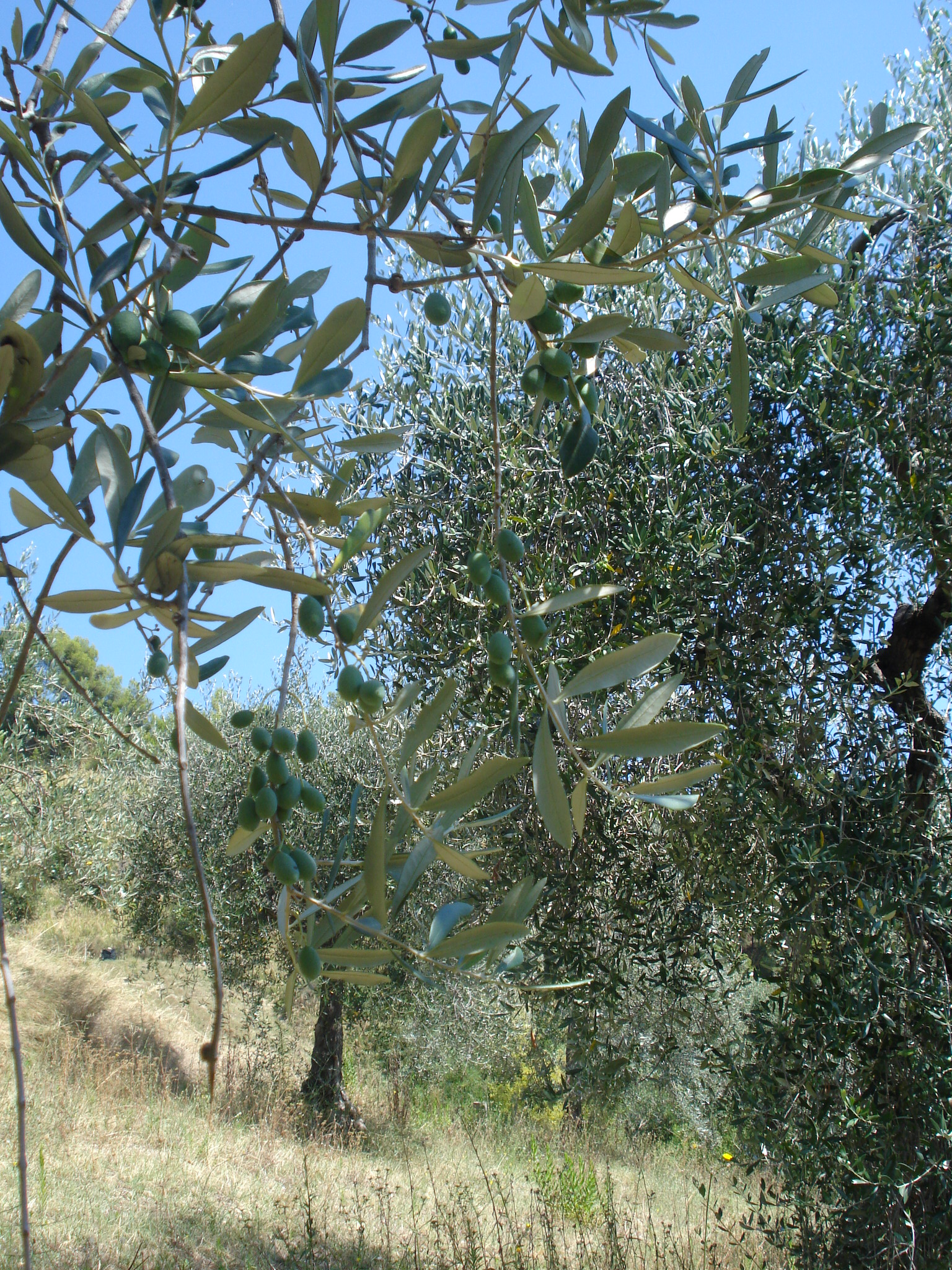 kann olivenöl verderben