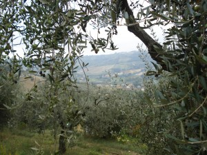 Unsere Oliven im Oktober 2013