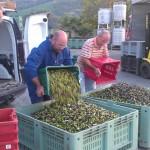 Michael, ein Agostini-Mitarbeiter und Giacomo, v. links, beim Umschütten der Oliven in große Behälter.