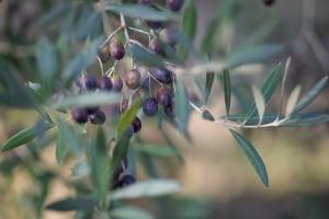 Vollreife Oliven am Baum