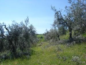 OlivenhangGeschnitten