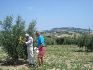 Bio-Olivenbauer Bruno zeigt Michael, rechts, die gelbe Falle, an der man den Befall der Olivenfliege ablesen kann.