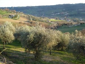 Olivenhaine rund um unsere Casa in den südlichen Marken
