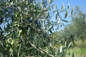 Einige unserer Oliven sehen trotz Olivenfliegen-Attacke recht gesund aus.