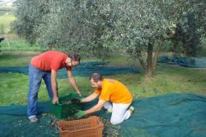 Tiziano, rechts, und sein Freund Benedetto sammeln die Oliven in luftdurchlässigen Körben