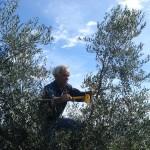 Mit seinen 70 Jahren klettert Bruno noch in die Olivenbäume!