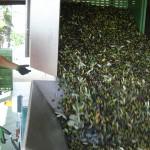 Tiziano schüttet seine Oliven in die Maschinen seiner Ölmühle.