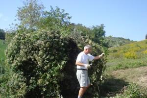 Michael befreit unseren Solitär-Olivenbaum von Schlingpflanzen und Brombeeren.