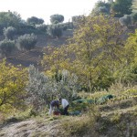2010: Der selbe Baum noch ohne Gestrüpp, mit Giacomo und Pietro bei der Ernte.