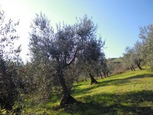 Unser Olivenhain sieht Anfang Januar so gar nicht nach Winter aus!