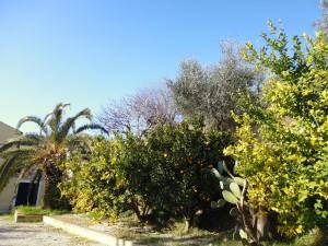 Unsere Zitronenbäume stehen kurz vor der Ernte - für köstlichen Limoncello im März.