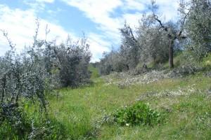 Unser Olivenhain - mit frisch beschnittenen Bäumen
