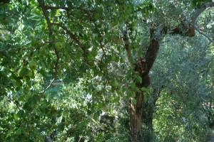 Großer Baum, kleine Früchte: unser Birnbaum mit Mini-Birnen, dahinter einer unserer Olivenbäume.