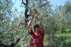 Michael ist 1,92 Meter groß - ein Vorteil beim Aufhängen der Pheromon-Fallen in den Olivenbäumen.