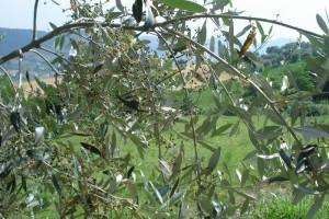 Mitte Juni: Die Olivenblüten sind verblüht, viele kleine und feste Oliven erblicken das Licht der Marken.