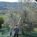 Giacomo und Jürgen mit den langen Erntekämmen - elektrisch und händisch