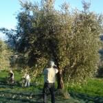 Michael erntet bei den oberen Bäumen von Giacomo.