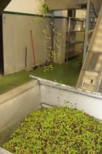 Erster Gang in der Ölmühle: Die Blätter werden weggeblasen.