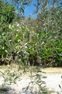 Solitär-Olivenbaum vor unserer Casa