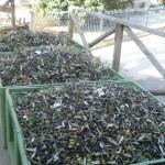 Die letzten Oliven dieser Saison für Tizianos Ölmühle - 2. Dezember 2015!