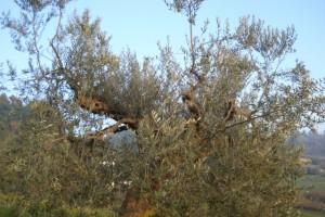 Verdiente Winterpause für unsere Olivenbäume
