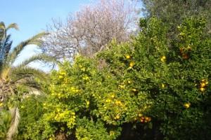 Zitronenbäume, darüber Mandeln und Oliven auf unserem Grundstück