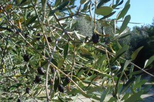 Unsere Oliven mit Einstichen von der Olivenfliege und verschrumpelt