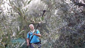 Die oben hängenden Oliven werden vom elektrischen Rüttelkamm erreicht.