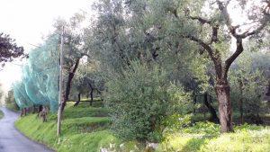 Olivenhain bei Sorrent