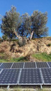 Ein Olivenbaum-Überlebenskünstler über unserer Solaranlage