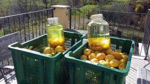 Die Zitronenschalen baden in Alkohol und werden Ostern zu Limoncello verarbeitet.