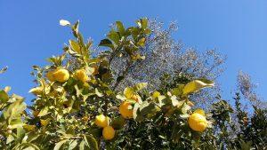 Die Zitronenbäume stehen direkt unter unseren Oliven - und sorgen für tolles Olivenöl-Aroma!