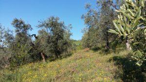 Nach dem Olivenbaumschnitt entwickeln sich die ersten Knospen.