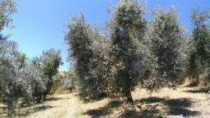 Ungewohnter Anblick: weiße Olivenbäume im Sommer.