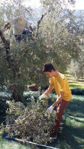 Papa Giacomo kraxelt im Olivenbaum, Sohn Cristian kämmt die Oliven von den Ästen.