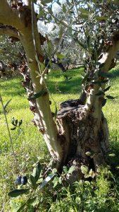 Sogar die neu aus diesem Olivenbaumstumpf wachsenden Äste tragen noch Anfang Dezember grüne und blaue Oliven!
