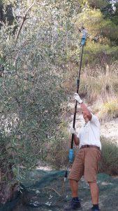 Der große Michael bedient den elektrischen Rüttler, um an die Oliven oben heranzukommen.