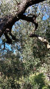 Freudenspender: die immergrünen Olivenblätter und blauer Himmel