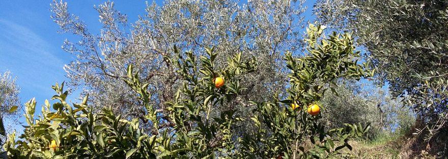 Über unseren Orangenbäumen gedeihen die Oliven.