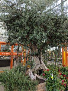 Olivenbaum: Schmuck in einer Erdinger Gärtnerei