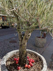 Olivenbaum im schönen Südtiroler Ort Neumarkt-Egna - mit Äpfeln, von denen wir auch reichlich haben!