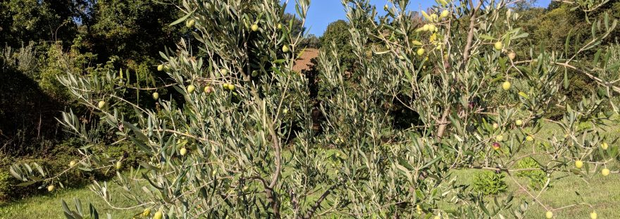 Junger Olivenbaum Casa Cedri